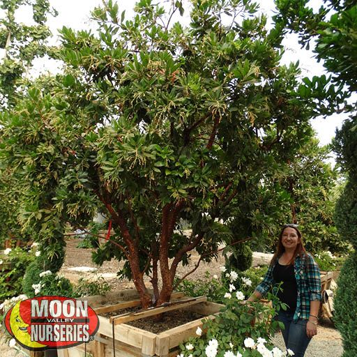Best Sellers Strawberry Tree