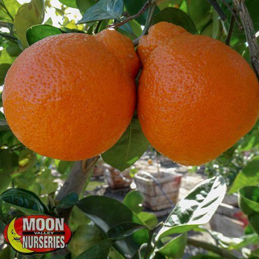 Citrus & Fruit Trees Tangelo