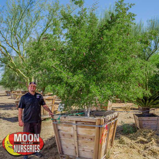 Desert Trees Texas Ebony