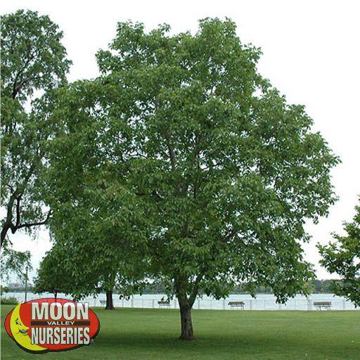 Citrus & Fruit Trees Texas Walnut