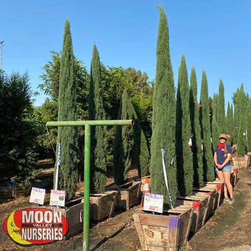 Hedge Material Little Towers Cypress