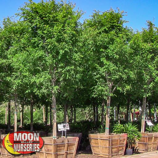 Water Wise Trees Chinese Elm 'True Green'