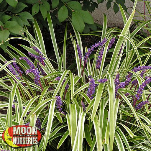 Shrubs Variegated Flax Lily