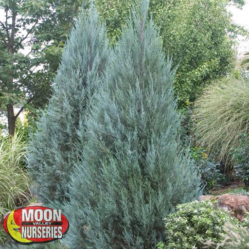 Hedge Material Wichita Blue Juniper