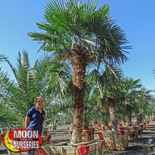 Palm Trees Windmill Palm