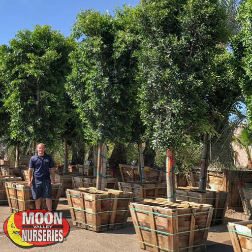 Fast Growers Ficus Indian Laurel