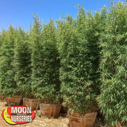 Hedge Golden Bamboo