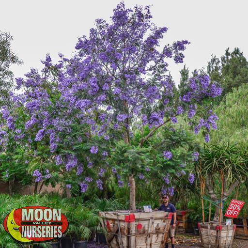 Specimen Trees Jacaranda Specimen
