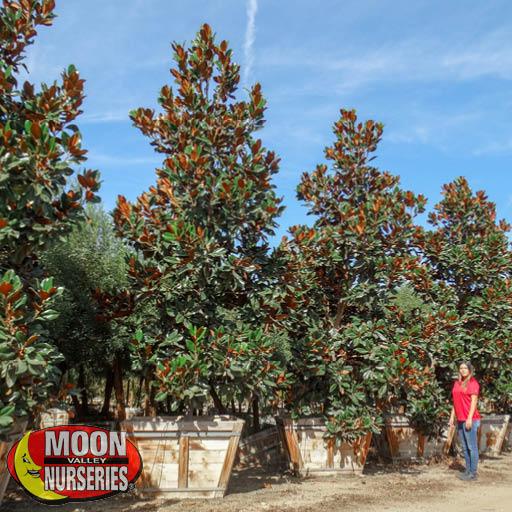 Trees of Winter Magnolia 'D.D. Blanchard'