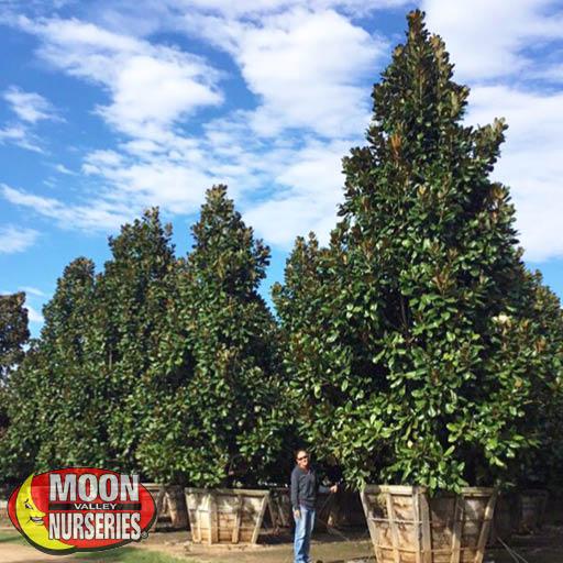 Specimen Trees Magnolia 'D.D. Blanchard' Specimen