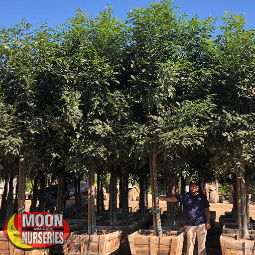 Evergreen Trees Majestic Ash