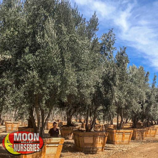 Evergreen Trees Manzanillo Olive