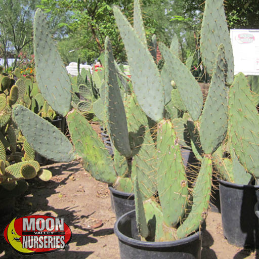 Cacti Agave and More Cow's Tongue Prickly Pear