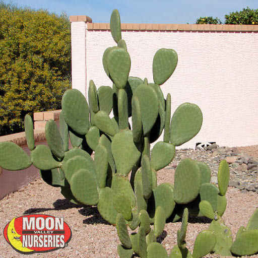 Cacti Agave and More Indian Fig Prickly Pear