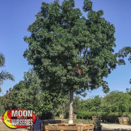 Specimen Trees Raywood Ash Specimen
