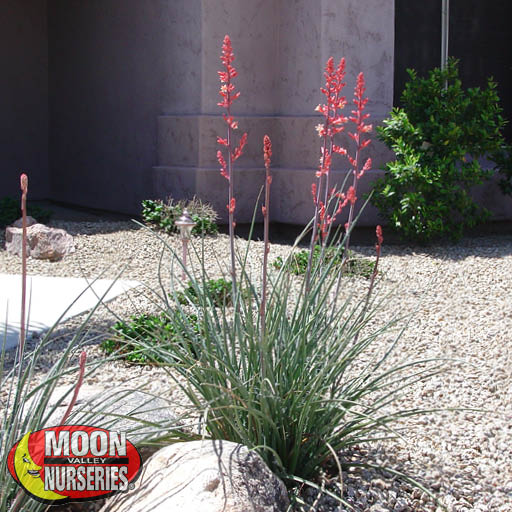 Succulents Red Yucca