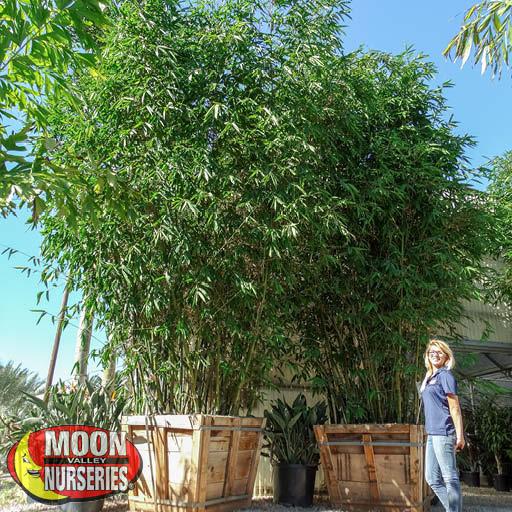 Evergreen Trees Timber Bamboo