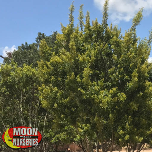 Hedge Material Southern Wax Myrtle