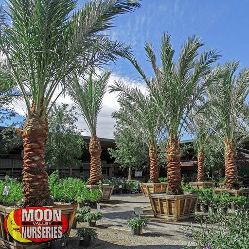 Summerlin Las Vegas-Charleston Nursery