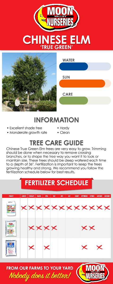Chinese True Green Elm care guide