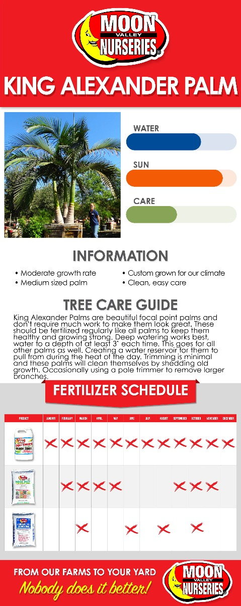 King Alexander Palm care guide