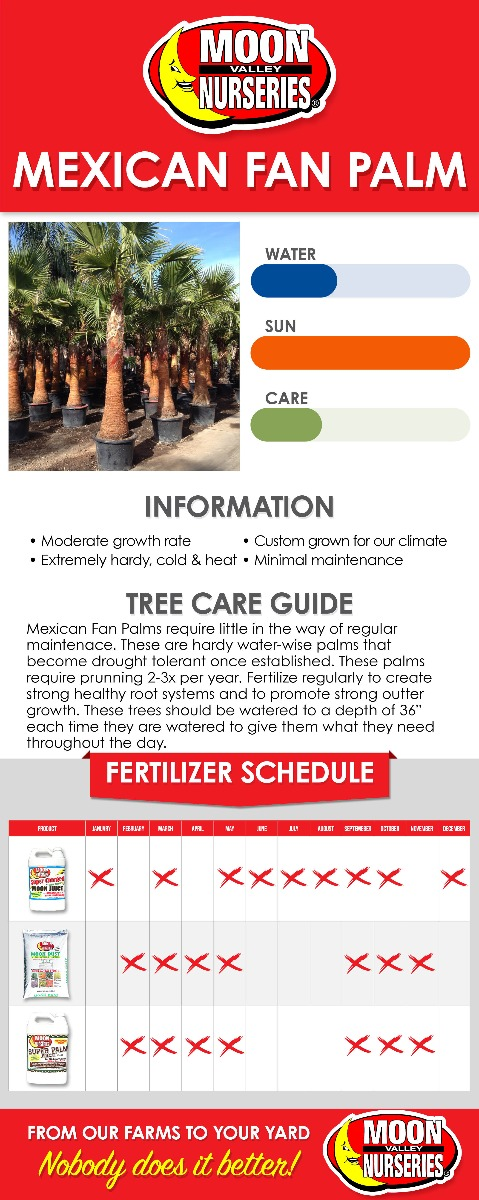 Mexican Fan Palm care guide