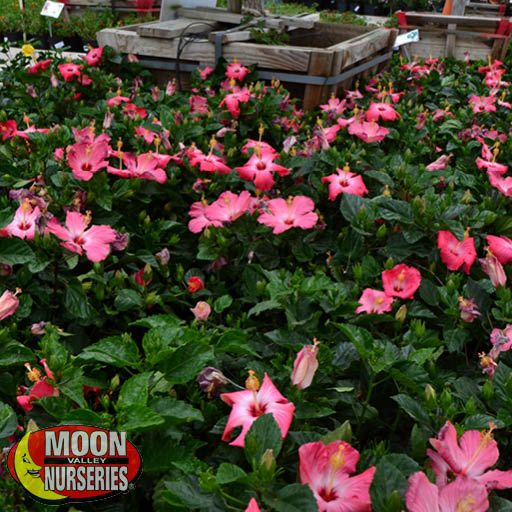 Hibiscus Care Guide Tree Care Moon Valley Nurseries