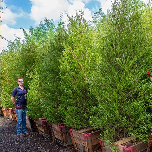 Hopseed Tree